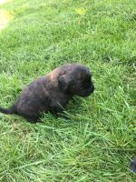 English Mastiff Puppies for sale in Apple Valley, MN 55124, USA. price: NA