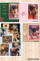 English Mastiff Puppies for sale in Grants Pass, OR, USA. price: NA