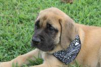 English Mastiff Puppies for sale in Ozark, AR 72949, USA. price: NA