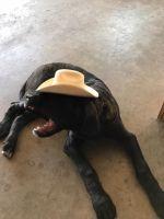 English Mastiff Puppies for sale in Rockvale, CO 81244, USA. price: NA