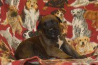 English Mastiff Puppies for sale in Pataskala, OH, USA. price: NA