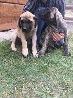 English Mastiff Puppies for sale in Rexford, MT 59930, USA. price: NA