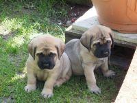 English Mastiff Puppies for sale in Boston, MA, USA. price: NA