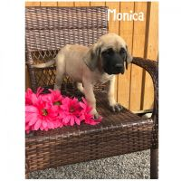 English Mastiff Puppies for sale in Navarre, OH 44662, USA. price: NA