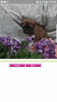 English Mastiff Puppies for sale in Grabill, IN 46741, USA. price: NA