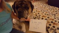English Mastiff Puppies for sale in Warren, OR, USA. price: NA