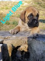 English Mastiff Puppies for sale in 45610 Township Rd 2313, Lewisville, OH 43754, USA. price: NA