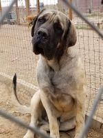 English Mastiff Puppies for sale in La Junta, CO 81050, USA. price: NA