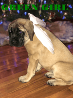 English Mastiff Puppies for sale in Piketon, OH 45661, USA. price: NA