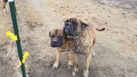 English Mastiff Puppies for sale in Venus, TX, USA. price: NA