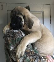 English Mastiff Puppies for sale in Indianapolis, IN, USA. price: NA