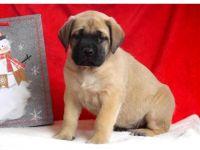 English Mastiff Puppies for sale in Austin, TX, USA. price: NA