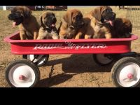 English Mastiff Puppies for sale in Carr, CO 80612, USA. price: NA