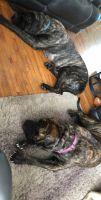 English Mastiff Puppies for sale in Port Huron, MI, USA. price: NA