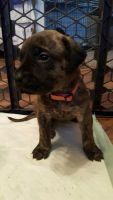 English Mastiff Puppies for sale in Marion, OH 43302, USA. price: NA