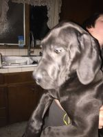 English Mastiff Puppies for sale in Port Clinton, OH 43452, USA. price: NA
