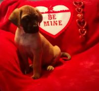 English Mastiff Puppies for sale in Sherrodsville, OH 44675, USA. price: NA