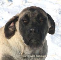 English Mastiff Puppies for sale in Unionville, IA 52594, USA. price: NA