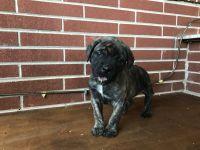 English Mastiff Puppies for sale in Mocksville, NC 27028, USA. price: NA