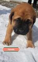 English Mastiff Puppies for sale in Wooster, OH 44691, USA. price: NA