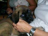 English Mastiff Puppies for sale in Manassas Park City Schools, Manassas Park, VA 20111, USA. price: NA