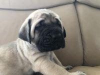English Mastiff Puppies for sale in Seattle, WA, USA. price: NA