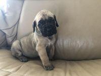 English Mastiff Puppies for sale in California St, San Francisco, CA, USA. price: NA