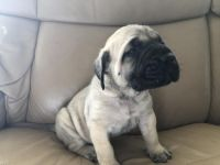 English Mastiff Puppies for sale in New York, NY, USA. price: NA