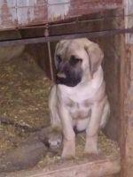English Mastiff Puppies for sale in Clovis, NM 88101, USA. price: NA