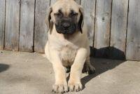 English Mastiff Puppies for sale in Portland, OR, USA. price: NA