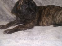 English Mastiff Puppies for sale in Huntsville, TX, USA. price: NA