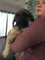 English Mastiff Puppies for sale in 4787 Maloney Rd, Pinconning, MI 48650, USA. price: NA