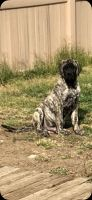English Mastiff Puppies for sale in Jurupa Valley, CA, USA. price: NA