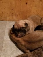 English Mastiff Puppies for sale in Akron, OH, USA. price: NA