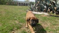 English Mastiff Puppies for sale in Columbia, SC, USA. price: NA