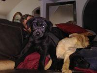 English Mastiff Puppies for sale in Ormond Beach, FL, USA. price: NA