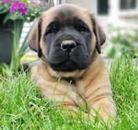 English Mastiff Puppies for sale in Newmanstown, PA 17073, USA. price: NA