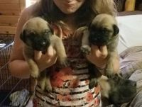 English Mastiff Puppies for sale in Bunnell, FL, USA. price: NA