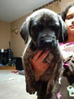 English Mastiff Puppies for sale in Blanchard, MI 49310, USA. price: NA