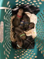 English Mastiff Puppies for sale in Milwaukee, WI, USA. price: NA