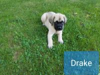 English Mastiff Puppies for sale in Austintown, OH, USA. price: NA