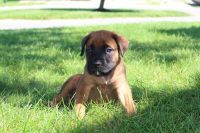 English Mastiff Puppies for sale in Sugarcreek, OH 44681, USA. price: NA