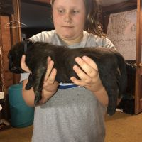 English Mastiff Puppies for sale in Jonesville, MI 49250, USA. price: NA