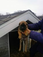 English Mastiff Puppies for sale in 880 S Ray Quincy Rd, Montgomery, MI 49255, USA. price: NA