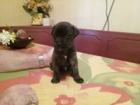 English Mastiff Puppies for sale in Carthage, TX 75633, USA. price: NA