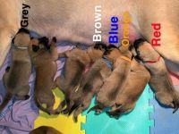English Mastiff Puppies for sale in Lewisville, OH 43754, USA. price: NA