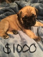 English Mastiff Puppies for sale in Finland, MN 55603, USA. price: NA