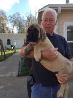 English Mastiff Puppies for sale in Dayton, TX 77535, USA. price: NA