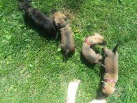 English Mastiff Puppies for sale in Rich Hill, MO 64779, USA. price: NA