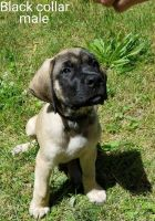 English Mastiff Puppies for sale in Hanover, PA 17331, USA. price: NA